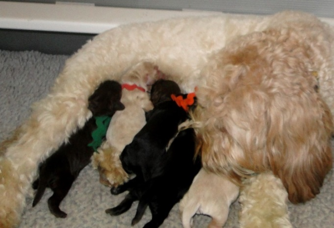 DaisysLitter1dayold                                                                         Upcoming Litters Fall/Winter 2013