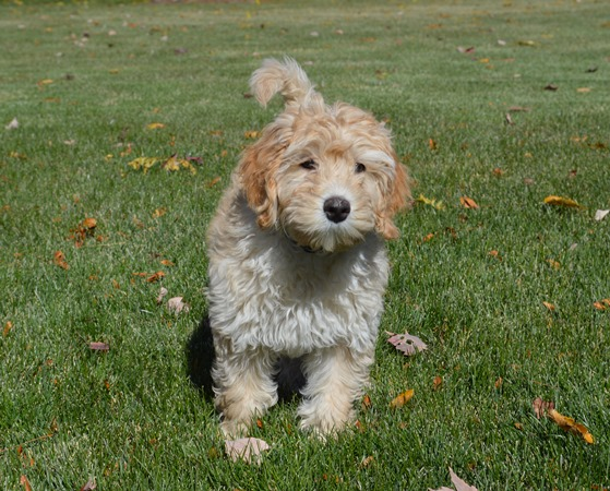 Cobberdog Puppies for Sale | Australian Labradoodle Difference