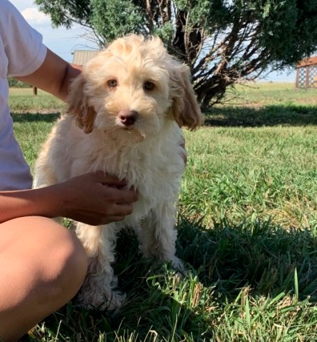 Puppies Available Now | Australian Labradoodle Breeder in